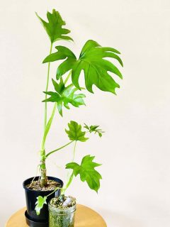 Philodendron Warszewiczii Plant Care