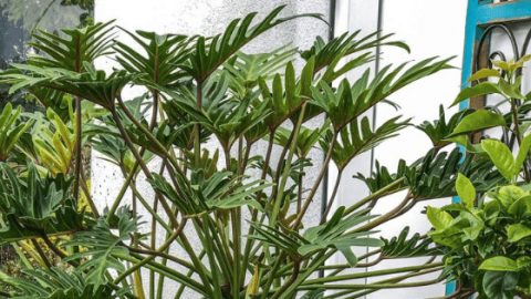 Philodendron Xanadu – Best Care Guide
