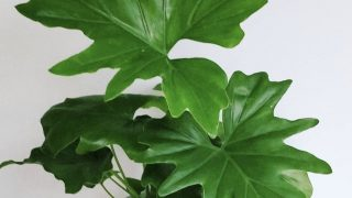 Philodendron bippinatifidum