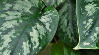 Scindapsus pictus (Silver Pothos)