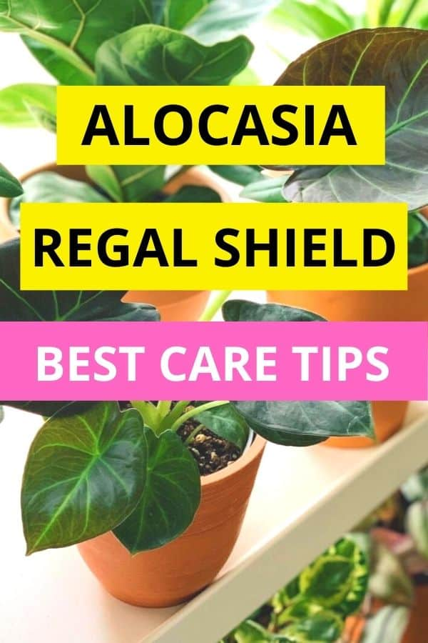 Alocasia Regal Shield Best Care Tips