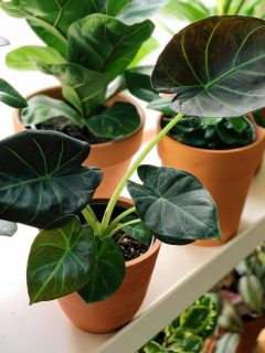 Alocasia Regal Shield Care