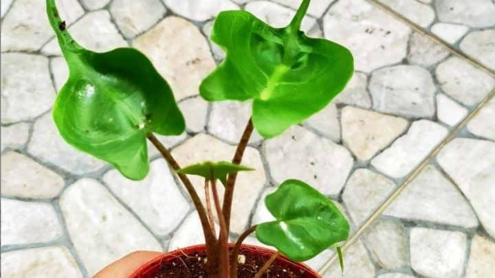 Alocasia Macrorrhiza 'Stingray' Complete Care Guide