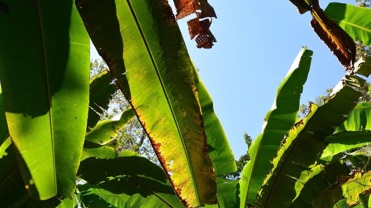 Banana Plant Leaf