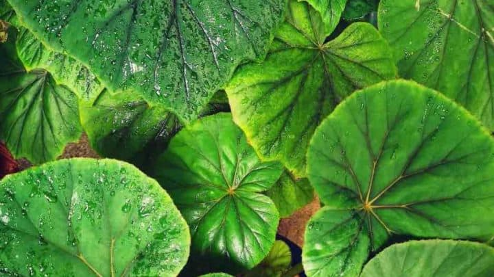 Begonia Popenoei Plant Care