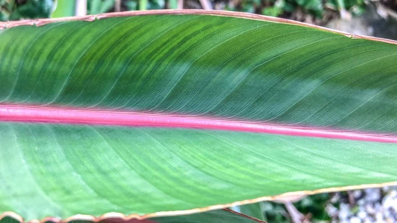 Bird of Paradise Huge Leaf