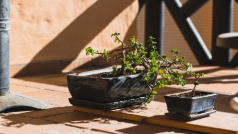 Bonsai Leaves Turning Yellow: 5 Reasons Why This Happens