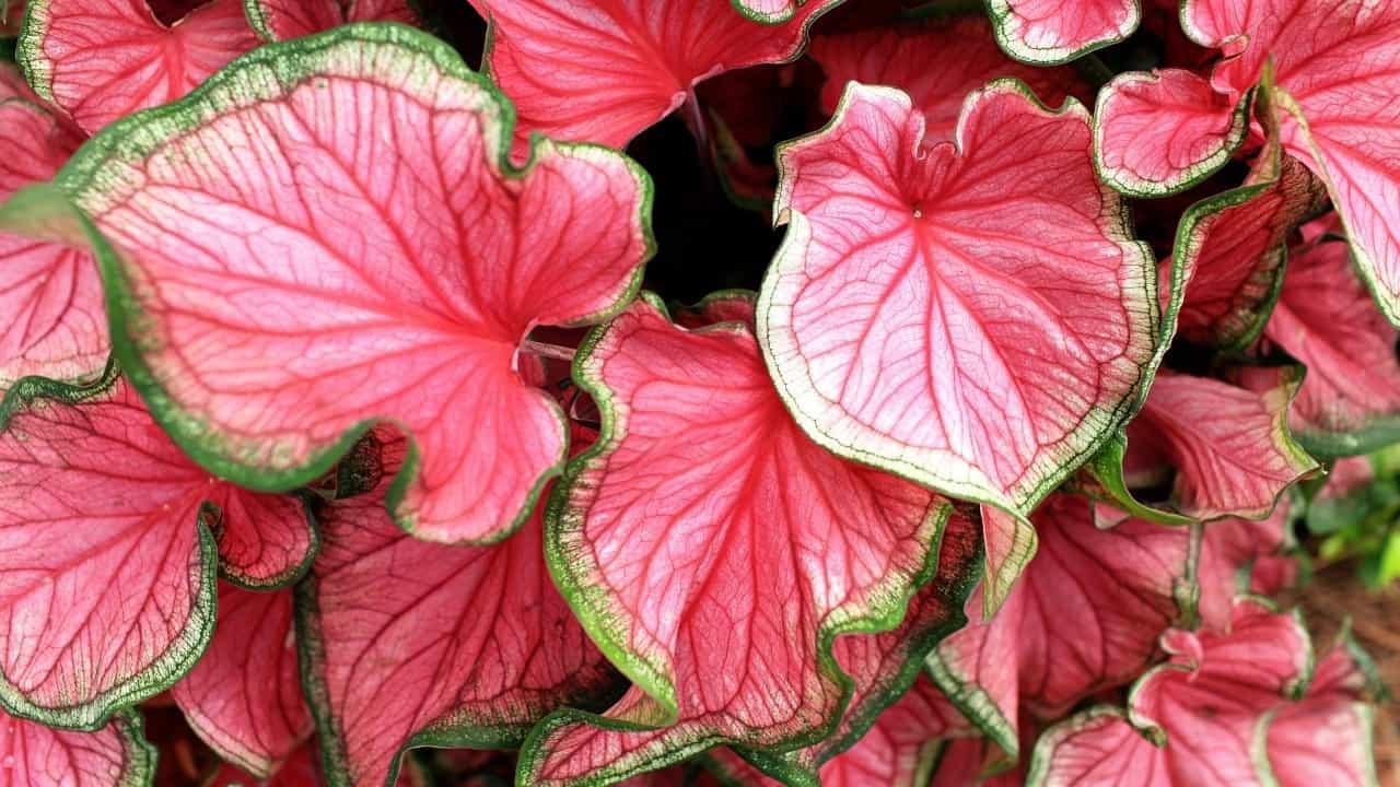 Caladium Large Leaves