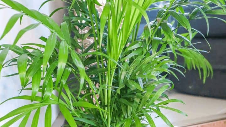 Cat Palm Care – Surprising Facts!