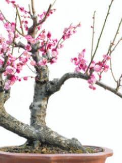 Cherry Blossom Bonsai Care