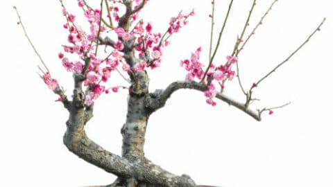 Cherry Blossom Bonsai Care – Best Secrets!