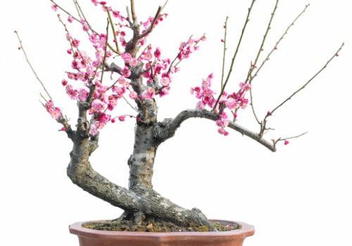 Cherry Blossom Bonsai Tree Care Guide Prunus Serrulata Bonsai Tree Gardener