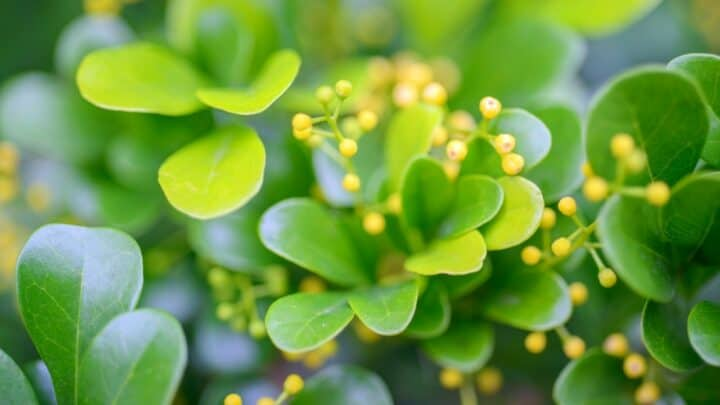 Chinese Perfume Plant Pro Care Tips