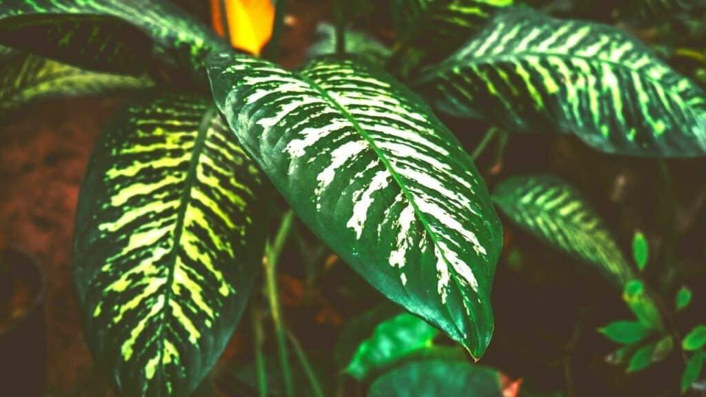 Dieffenbachia Large Leaf