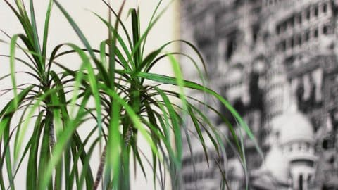 Dracaena Marginata Care – #1 Plant Guide