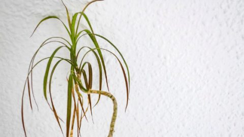 6 Reasons Why Your Dracaena Marginata Is Drooping & Dropping Leaves