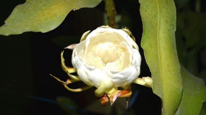 Epiphyllum Crenatum Plant Care