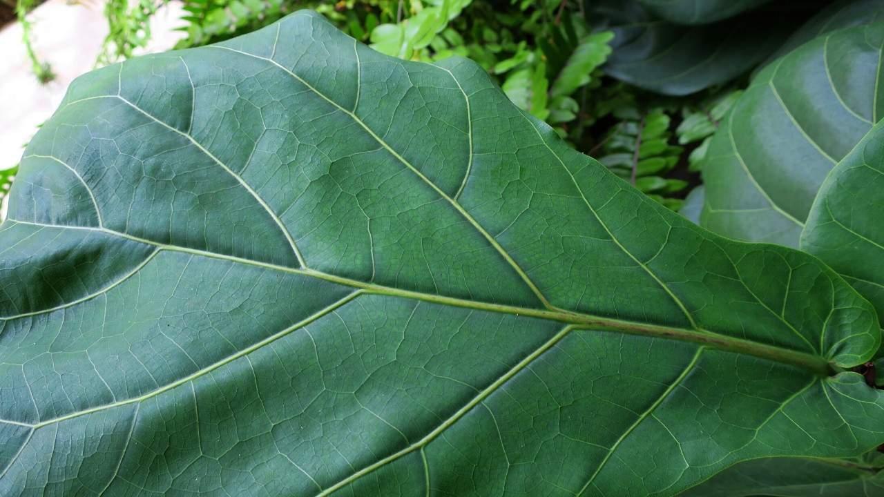 Fiddle Leaf Fig Large Leaf