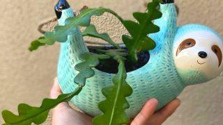 Fishbone Cactus Care