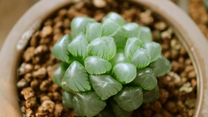 Haworthia Cooperi Care