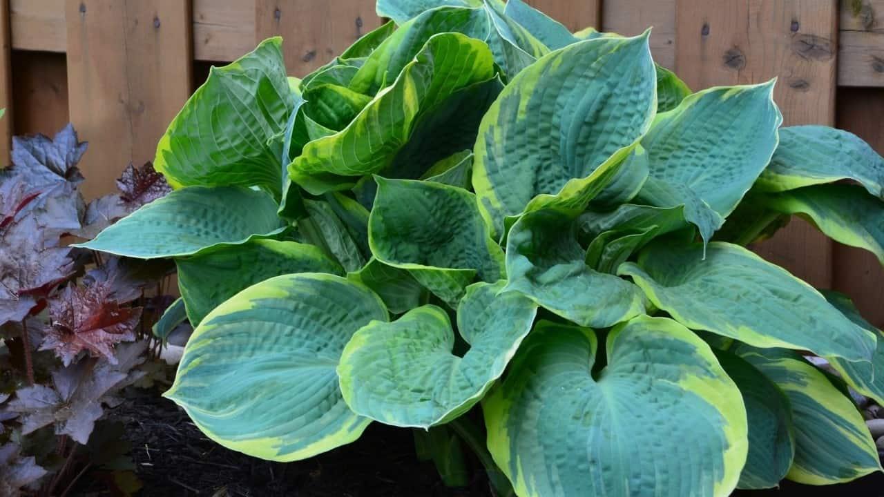 Hosta Large Leaves