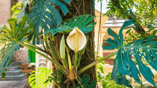 How Much Light a Monstera Deliciosa Needs