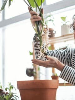 How To Take Cuttings From Monstera Deliciosa