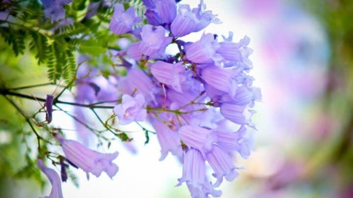 Jacaranda Mimosifolia Bonsai Care Guide