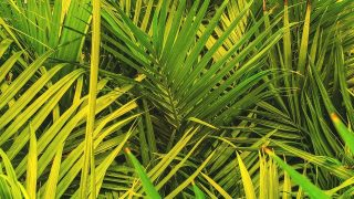 Majesty Palm Care