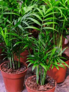 Neanthe Bella Palm Care