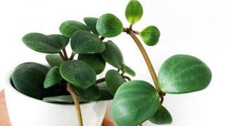 Peperomia Hope Plant Care