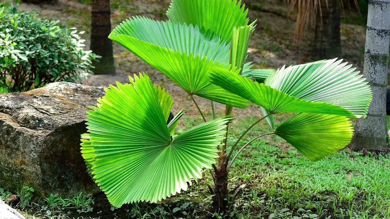 Ruffled Fan Palm Large Leaves