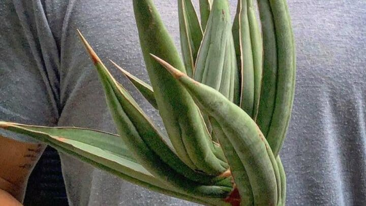 Sansevieria Pinguicula Best Care Tips
