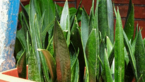 Sansevieria Zeylanica – What you need to know!