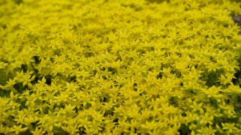 Sedum Acre – #1 Goldmoss Care Guide