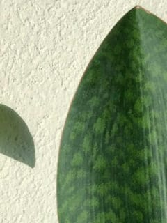 Whale Fin Sansevieria Care