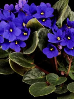 What Causes African Violet Leaves to Turn Yellow