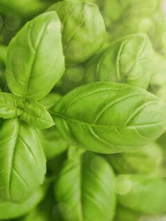 What Causes Basil Leaves to Turn Yellow
