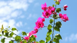 What Causes Bougainvillea Leaves to Turn Yellow