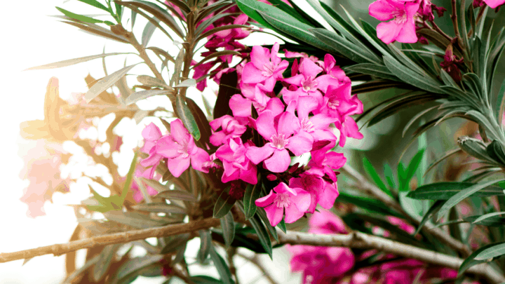 What Causes Oleander Leaves to Turn Yellow