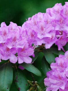 What Causes Rhododendron Leaves to Turn Yellow