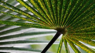 White Spots on Palm Leaves