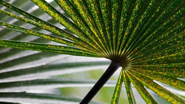 White Spots on Palm Leaves: 4 Possible Reasons