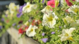 Yellowing Petunias