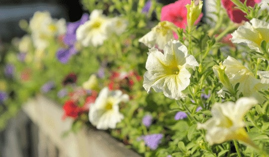 Yellowing Petunias