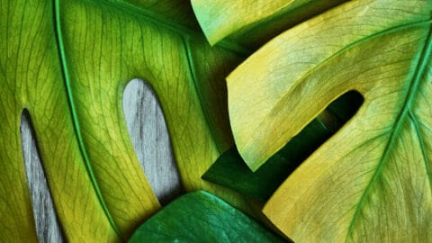 7 Reasons Why A Monstera Deliciosa Has Yellow Leaves