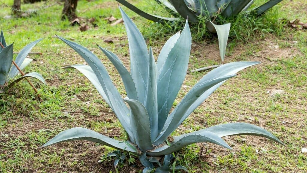 Agave Tequilana Blue Agave
