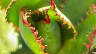 Agave bovicornuta care