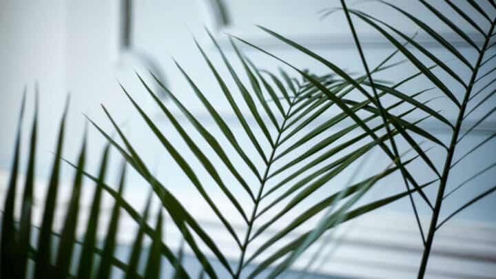 Areca Palm Care – A Comprehensive Guide
