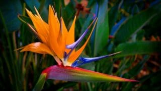 Bird of Paradise Brown Edges
